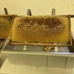 Honigwabe vor dem Schleudern