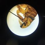 Hundefloh_Mikroskop